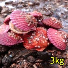 꽃가리비(통영산) 3kg